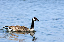 12 May 2009: Canadian Goose. (Photo by Alan Look)