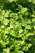 Coriander herb, Coriandrum sativum, in UK
