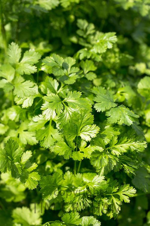 Coriander herb, Coriandrum sativum, in UK