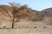 Israel, Judean Desert, Wadi Hadad, Nubian Ibex (Capra ibex nubiana)
