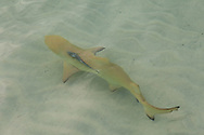 A juvenile Lemon Shark (Negaprion brevirostris) circles Maho Bay in St. John, USVI during feeding time. This little guy was not quite 3 feet long, but was accompanied by a Remora (Echeneis naucrates).