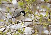 Coal tit perched in a tree with snow.