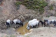 Theodore Roosevelt National Park lies in western North Dakota, where the Great Plains meet the rugged Badlands. It's great habitat for bison, elk and prairie dogs. The Little Missouri River flows through the park. <br /> <br /> In this image, wild horses drink from a watering hole.