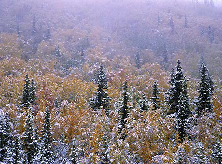 Alaska. Fairbanks. White Mountains National Recreation Area. Birch forest and Spruce in first snowfall.