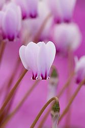 Cyclamen hederifolium var. confusum