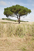 lone tree standing a harvested field in a hilly landscape