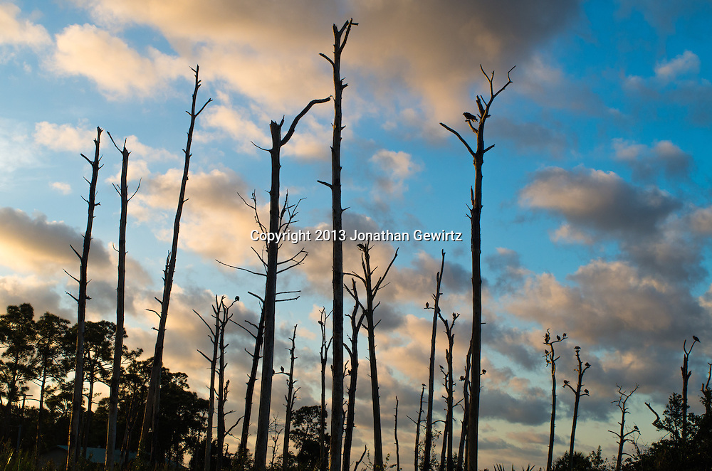 Morning sunlight silhouettes vultures perchied in dead trees in Jonathan Dickinson State Park, Hobe Sound (Jupiter), Florida. WATERMARKS WILL NOT APPEAR ON PRINTS OR LICENSED IMAGES.