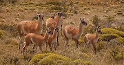 Guanaco (Lama guanicoe) herd with young, Parque Nacional Torres del Paine, Patagonia, Chile