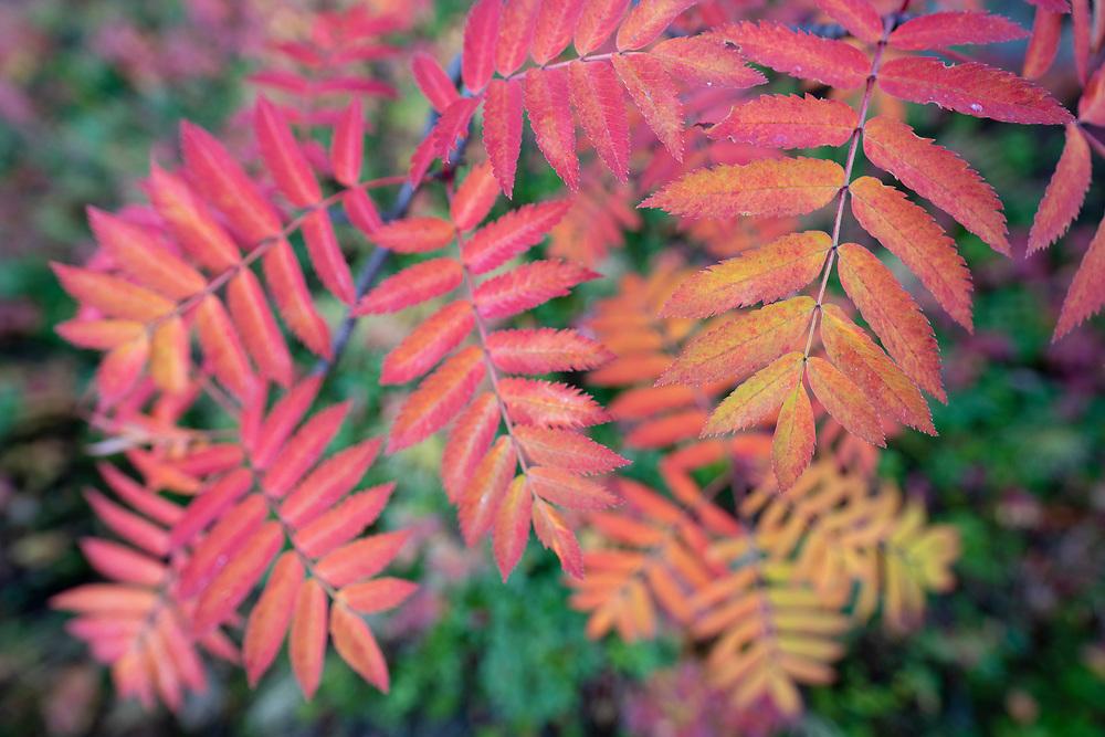 Rowan or mountain-ash, Sorbus aucuparia, Abisko National Park, Norrbotten, Lapland, Sweden