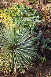 Yucca rostrata with Fatsia japonica 'Variegata' and Euphorbia rigida