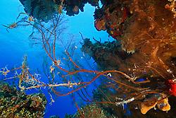 Feather Black Coral, Antipathes pennacea, West End, Grand Bahamas, Atlantic Ocean