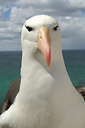 Black browed albatross  (Diomedea melanophris)   Schwarzbrauenalbatros (Diomedea melanophris)