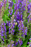 A BumbleBee (Bombus mixtus) collecting nectar and pollen on a Hyssop flower (Hyssopus officinalis)