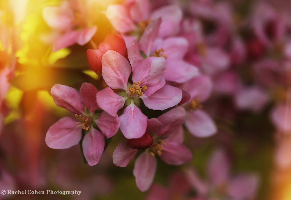"""""""Let the Sun Shine In""""<br /> <br /> Stunning pink crab-apple blossoms bathed in sunlight!"""