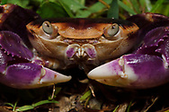 Violet land crab, Geograpsus grayi, SanXianTai/ San-Hsien-T'ai Island, Chenggong township, Taiwan