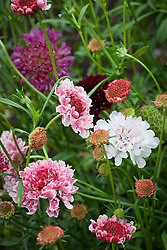 Scabiosa 'Mixed Giant Hybrids'