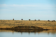 Bison and pond on the Great Plains in spring at the American Prairie Reserve south of Malta in Phillips County, Montana.