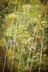 Fennel and Stipa gigantea. Foeniculum vulgare