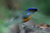 Fujian Niltava, Niltava davidi, bird sitting on a branch in Baihualing, Gaoligongshan, Yunnan, China