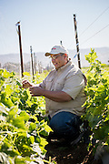 Juan Gonzales tends to his cucumbers. He is part of the ALBA farm incubator program in Salinas, CA.