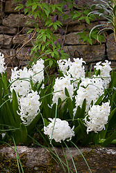 Hyacinthus orientalis 'L'Innocence' growing in a trough at The Old Rectory. Design: Mary Keen