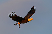 A bald eagle (Haliaeetus leucocephalus) flies with a fish it caught in Lake Washington near Kirkland, Washington.