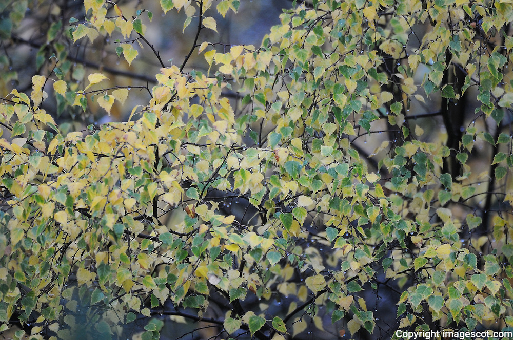 Autumn colours, birch leaves<br /> *ADD TO CART FOR LICENSING OPTIONS*