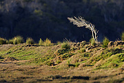 Wind Blown Tree, Tasmania