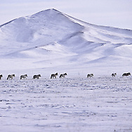Mongolia. horses on the steppe with snow in Malah   / troupeau de chevaux en liberté  à Malah lieu de la course du nouvel an, en hiver sur la steppe enneigée
