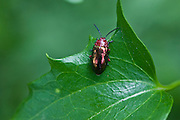 Beetle eating Leaf, Australia