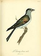 Vouroug-driou male from the Book Histoire naturelle des oiseaux d'Afrique [Natural History of birds of Africa] Volume 5, by Le Vaillant, Francois, 1753-1824; Publish in Paris by Chez J.J. Fuchs, libraire 1799