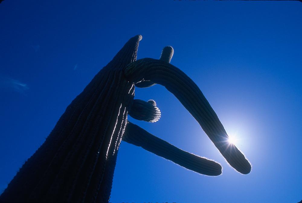Saguaro cactus, Organ Pipe Cactus National Park, Arizona, USA