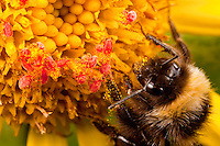 Bumblebee rests on ragwort wildflower blossom as red velvet mites feed on pollen grains, Kodiak Island