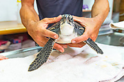 The National Sea Turtle Rescue Center operated by the Israel Nature and Parks Authority. The center was established in 1999 by the Israel Nature and Parks Authority, the agency responsible for the protection of wildlife in Israel, with the goal of rehabilitating injured sea turtles and returning them to the wild after their recovery. Since its establishment the center has cared for more than 700 individuals, mainly loggerhead turtles, green sea turtles, softshell turtles, Western Caspian turtles and even five dolphins.