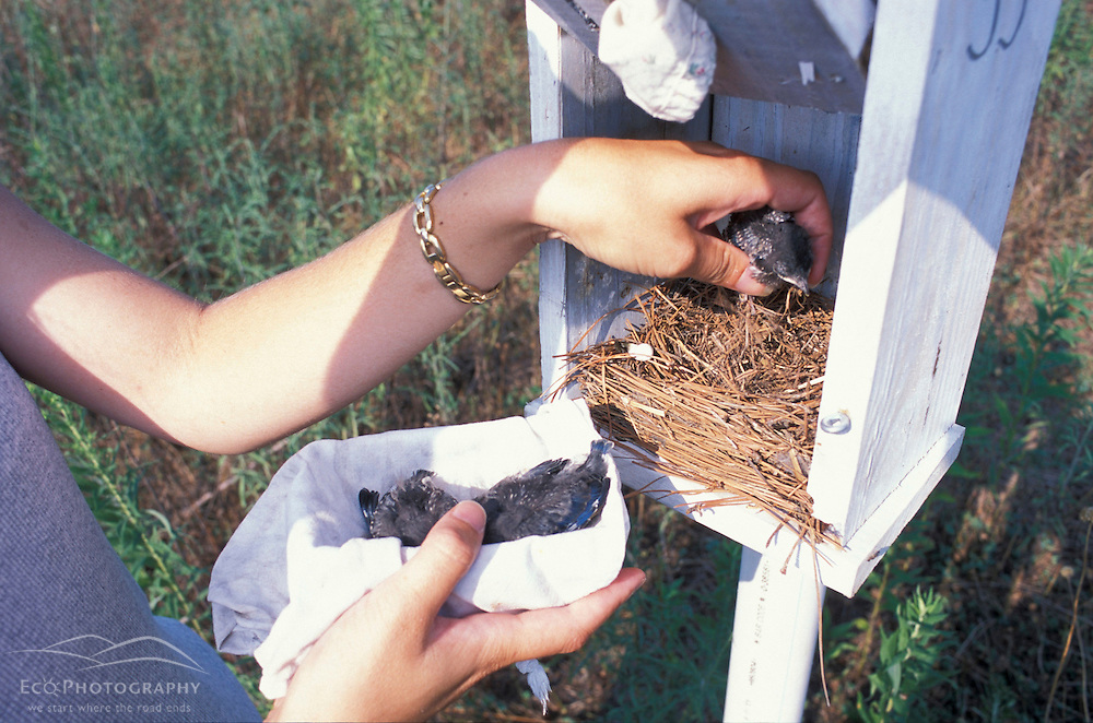 Queen Anne's County, MD. Manomet researcher Jan Yacabucci removing bluebird chicks from a nest at Chino Farms.  The chicks were weighed, measured, and banded.