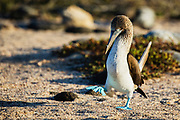 Blue-footed booby (Sula nebouxii excise) walking, North Seymour Island, Galapagos Islands, Ecuador