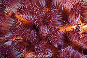 fire urchin, Asthenosoma varium, a venomous stinging sea urchin, Kapalai, off Borneo, Sabah, Malaysia