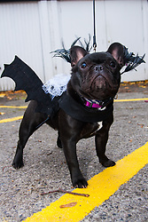 Hampstead Heath, London, October 26th 2014. Dogs rescue and re-homing charity All Dogs Matter hold their annual Halloween fancy dress dog walk on Hampstead heath. PICTURED: Dressed as a Haloween bat, is Bean, a French Bulldog.