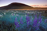 Lupine flowers in grassland with South Findley Butte at dawn. The Nature Conservancy's Zumwalt Prairie Preserve in NE Oregon, Zumwalt holds some of the largest remaining tracts of intact bunchgrass prairie in North America.