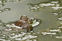 Bullfrog in a Pond at the Sourland Mountain Preserve in New Jersey. Image taken with a Nikon D800 and 500 mm f/4 VRII lens (ISO 800, 500 mm, f/4, 1/800 sec). Crop of image taken with the center focus sensor.