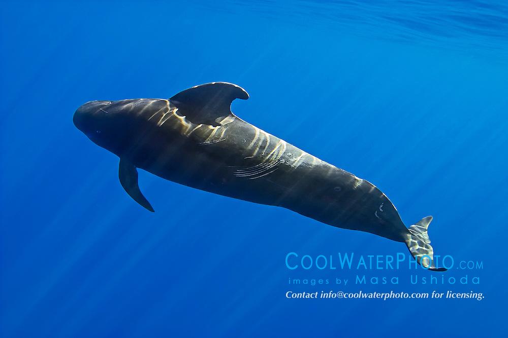 short-finned pilot whale, Globicephala macrorhynchus, large bull with rake marks and battle scars, Kona Coast, Big Island, Hawaii, USA, Pacific Ocean