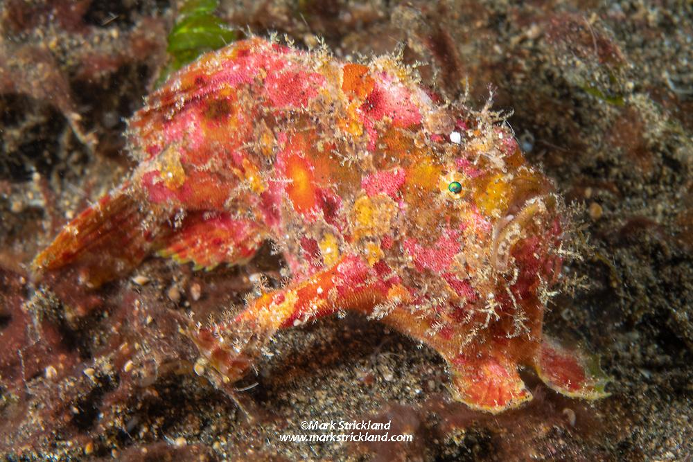 Freckled frogfish, Antennarius coccineus, Witu Islands, Papua New Guinea, Pacific Ocean
