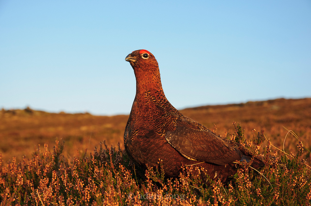 A male Red Grouse, Lagopus lagopus scotica, on the eastern moors of the Peak District