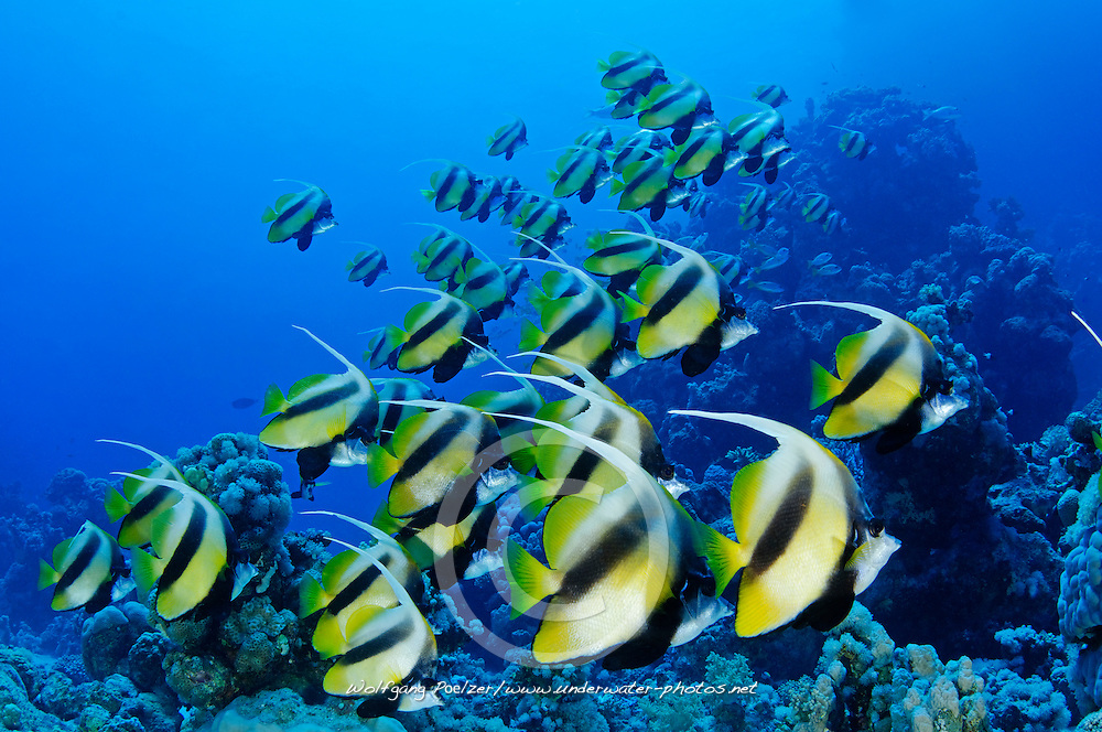 Heniochus intermedius, Rotmeer Wimpelfisch, Schwarm, School of Red Sea Bannerfish, Marsa Alam, Rotes Meer, Ägypten, Red Sea Egypt