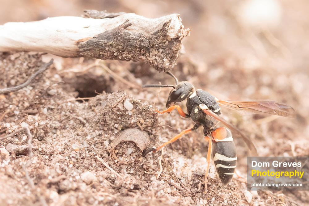 Purbeck mason wasp (Pseudepipona herrichii) excavating nest burrow. Dorset, UK.