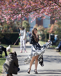 © Licensed to London News Pictures. 19/04/2021. London, UK. A woman poses for a videographer in an avenue of cherry blossom trees during sunny weather in Greenwich Park in South East London. Temperatures are expected to rise with highs of 17 degrees forecasted for parts of London and South East England today . Photo credit: George Cracknell Wright/LNP