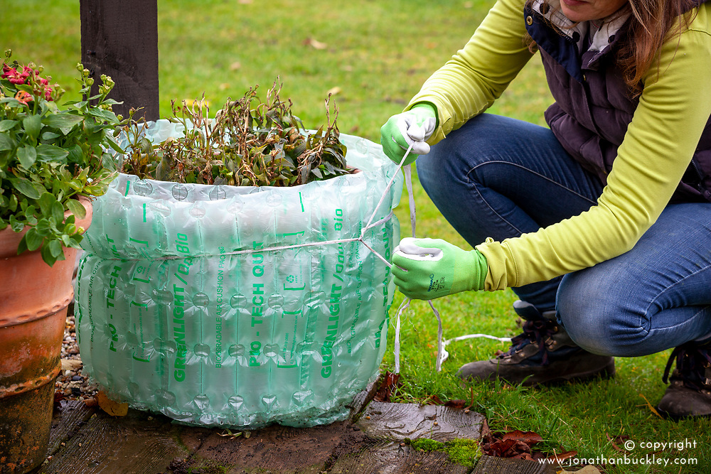 Tying bubblewrap around a terracotta container of alstroemerias for winter protection.