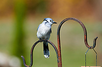 Blue Jay (Cyanocitta cristata) perched on a garden feeder, Cherry Hill Beach, Nova Scotia, Canada