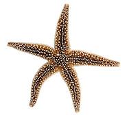 Common Starfish - Asterias rubens
