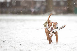 London,UK. 8th Feb 2021. A dog with a stick runs through Victoria Park in East London during a snow shower. Snow is expected for large parts of the UK and a yellow weather warning is in place in parts of England as Storm Darcy hits the UK.